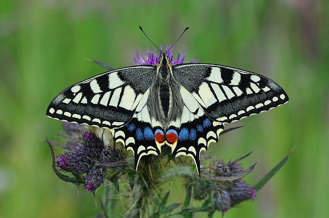 Image result for swallowtail butterfly on the Norfolk Broads Pinterest