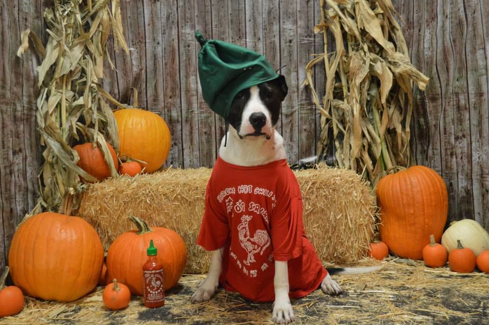 Miles As A Sriracha Bottle Dog Halloween Costumes Fitdog
