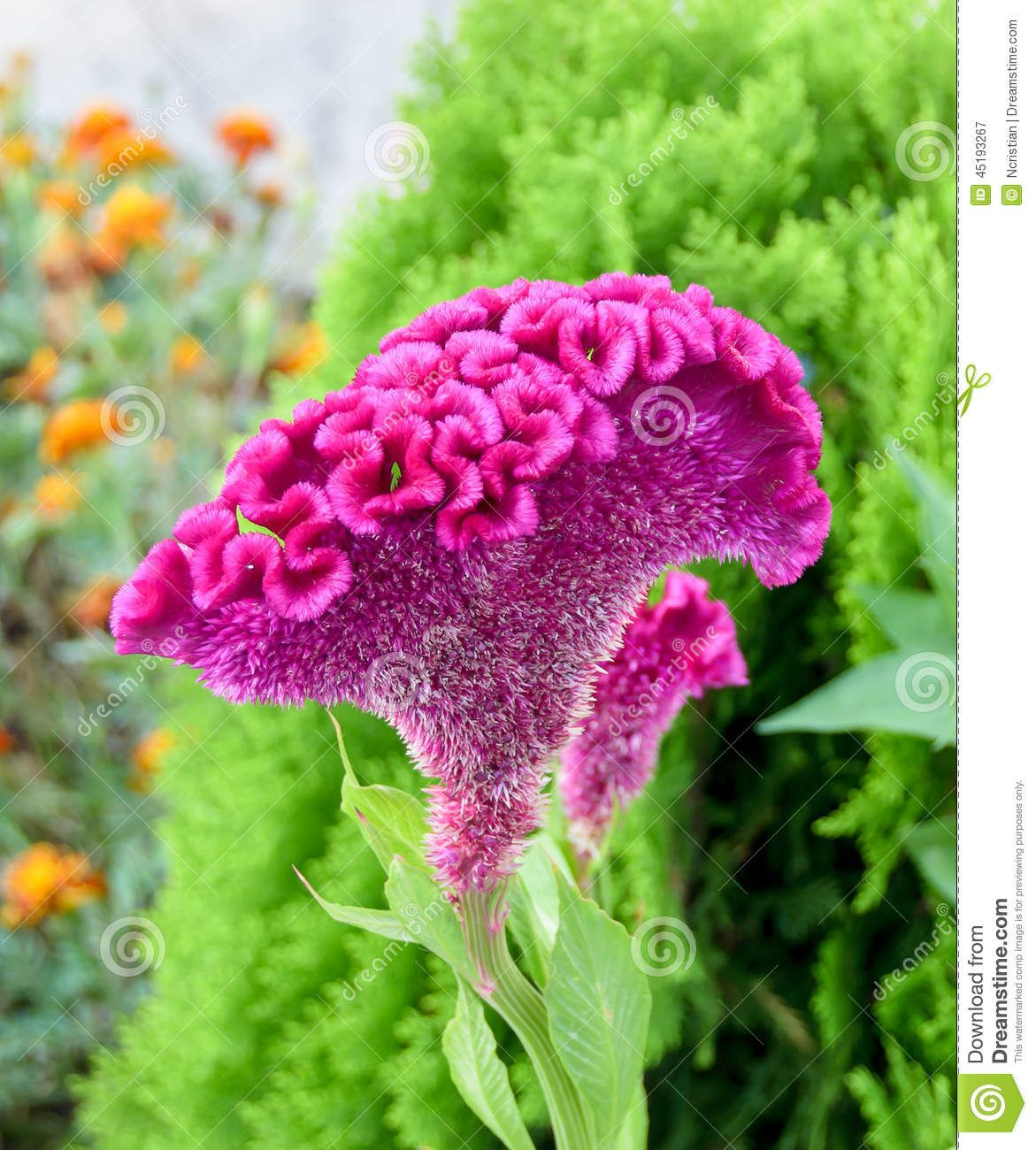 Photo About Celosia Cristata Genus Celosia Commonly Known As Cockscomb It Is Called Chi Kuan In China And Creast Rare Flowers Unique Flowers Amazing Flowers