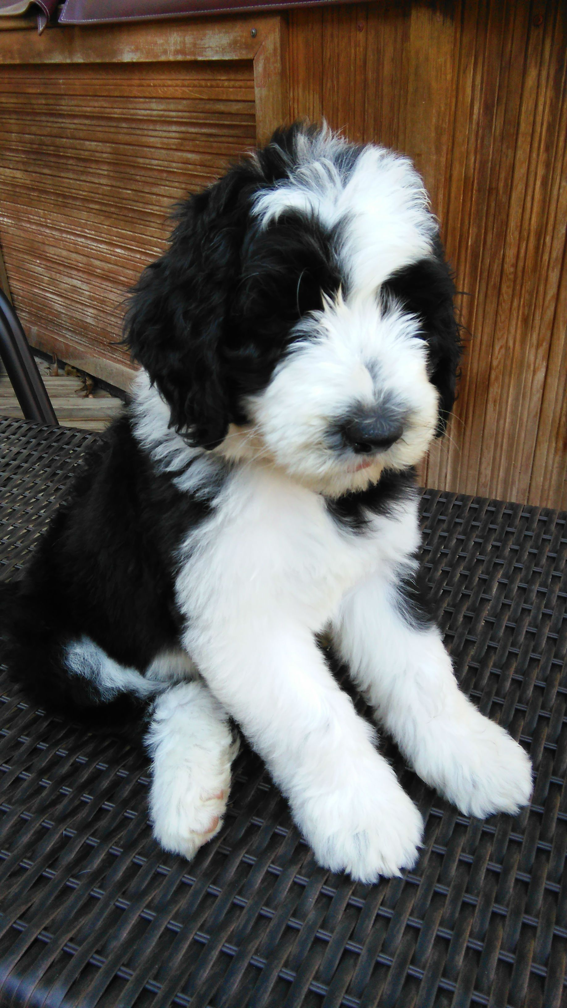 Simons Sheepadoodles Pittsburgh Pa Sheepadoodle Puppy Pet Dogs