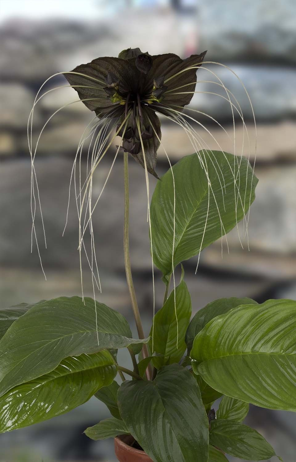 Outdoor flowers that like sun - Black Bat Flower Tacca Chantrieri The Unusual Black Flowers Look Like Bats With Long Cat Whiskers And They Rise Up On Long Stems From The Broad Shiny