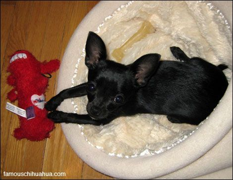 Farfl The Adorable Black Purebred Chihuahua Puppy Chihuahua