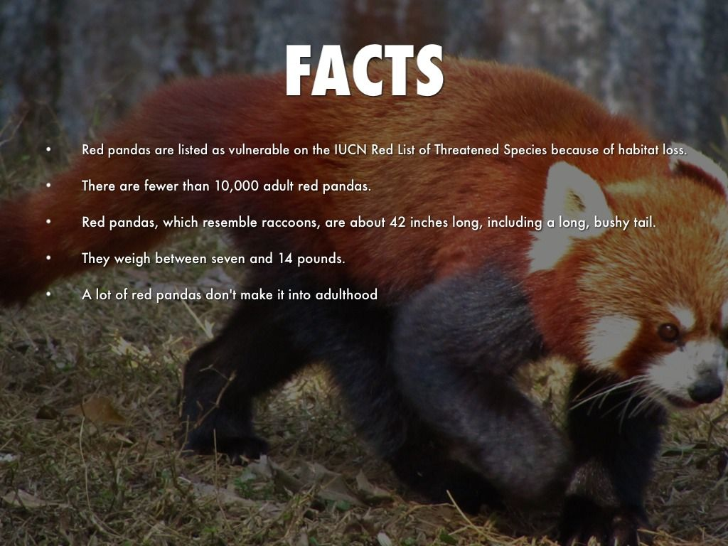 red panda facts for kids - - Yahoo Image Search Results | Red ...