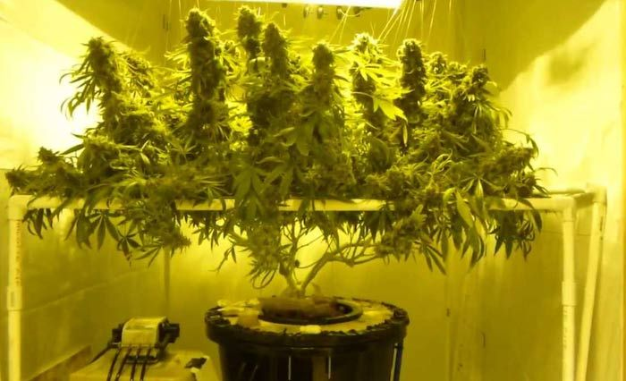 Dwc Marijuana Grow Deep Water Culture Herbs Pinterest Cannabis Ganja And Marijuana Facts