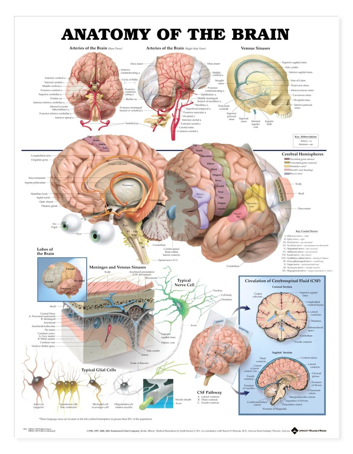 Anatomy Of The Brain Anatomical Chart Poster