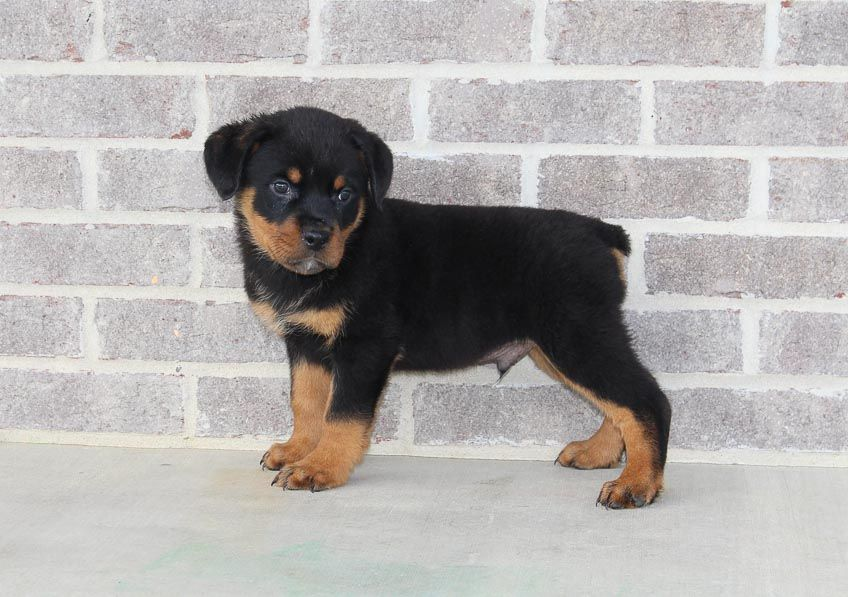 Collie Male Akc Rottweiler Puppy For Sale In Indiana With