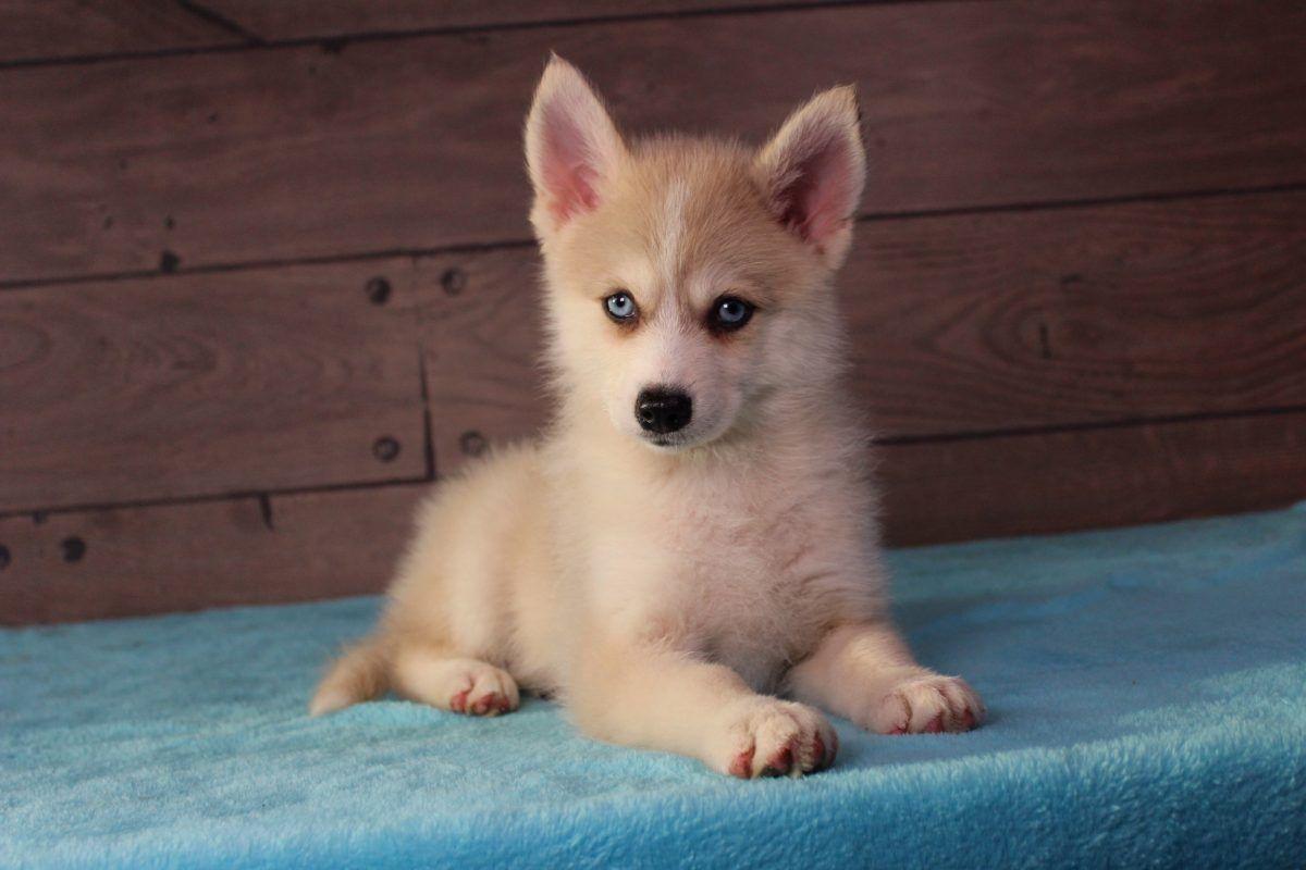 Cody Male Puppy Pomsky For Sale In Nappanee Indiana Pomsky Dog Breeds Pomsky Dog Puppies