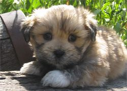 Lhasa Apso Puppy For