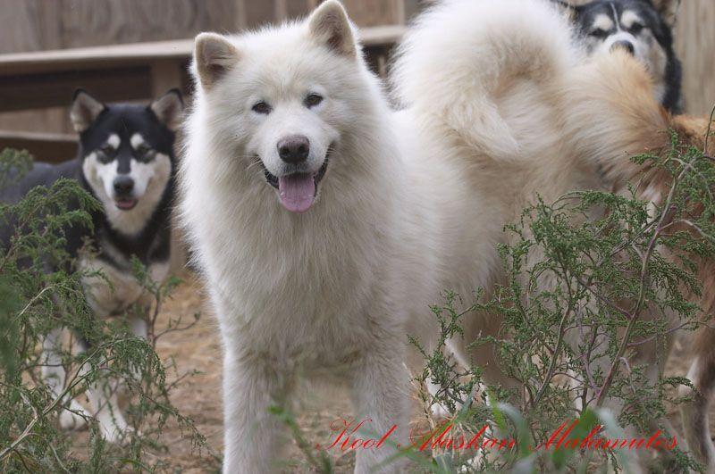 Wooly Alaskan Malamute Alaskan Malamute Malamute Puppies