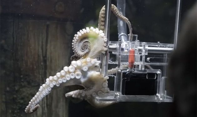 There's an unusual photographer working for Auckland's Sea Land Aquarium. His name is Rambo, and we doubt he personally manages the $2 per shot he earns taking pictures of tourists. That's because Rambo is an octopus -- a very smart one who learned how to press the shutter after three tries.