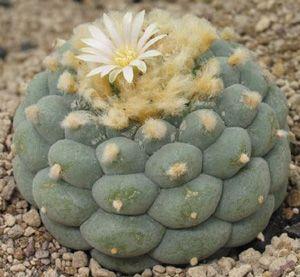 Lophophora Diffusa Cactus Succulent Seeds