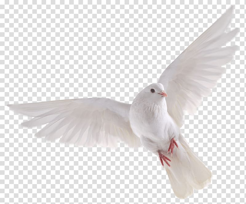 White Dove Flying Bird Dove Transparent Background Png Clipart In 2020 Dove Flying Hummingbird Illustration Feather Illustration