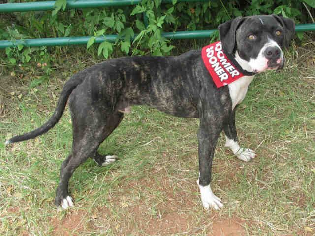 Boxador Dog For Adoption In Oklahoma City Ok Adn 658989 On