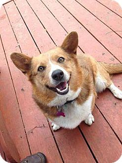 Oklahoma City Ok Cardigan Welsh Corgi Meet Kyah A Dog For