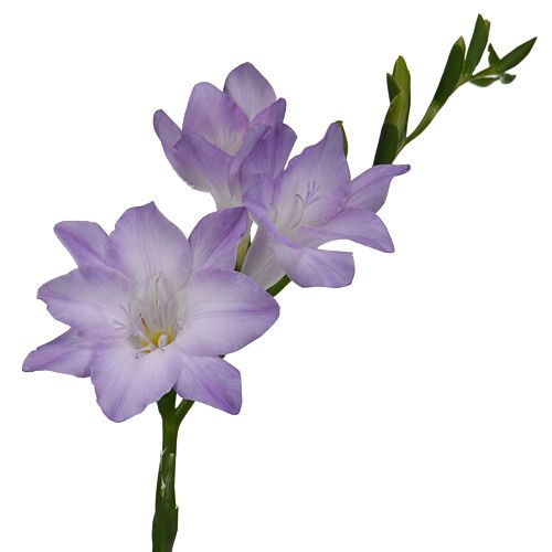 Lavender Freesia Flower Fiftyflowers Com Freesia Flowers Freesia Wholesale Flowers Wedding