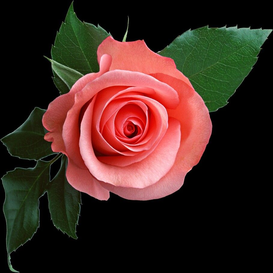 Pin By Vera Laer On Rose Beautiful Rose Flowers Flower