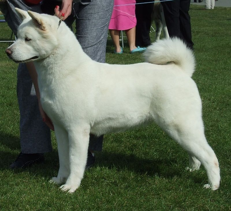 White Japanese Akita ) A larger version of my baby, Tobie