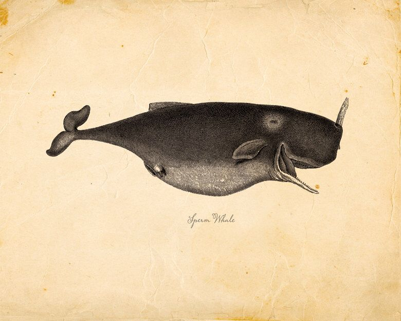 Vintage Sperm Whale on Antique Paper Print 8x10 P70 by OrangeTail on Etsy https://www.etsy.com/listing/84931497/vintage-sperm-whale-on-antique-paper