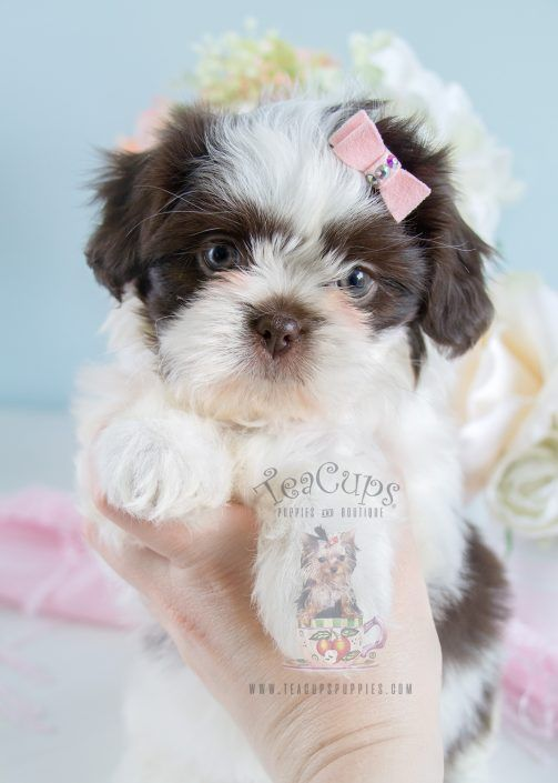 Shihtzu Puppy For Sale 180 Teacup Puppies Teacup Puppies Teacup Puppies For Sale Puppies For Sale