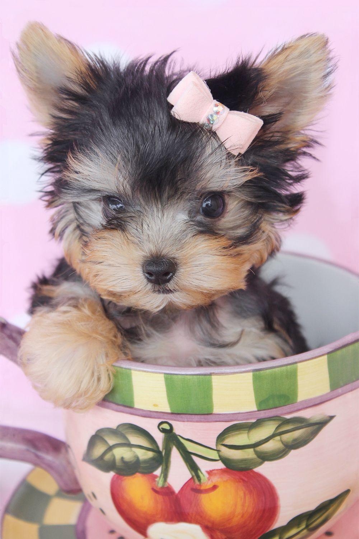 teacupyorkie212.jpg (1000×1500) Teacup puppies
