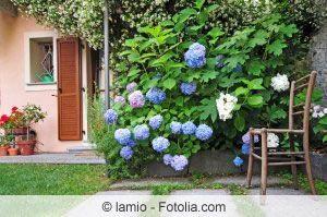 Hortensien blau färben - die besten Hausmittel zur Färbung #hortensienvermehren
