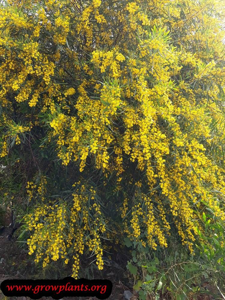 Acacia Saligna Tree Evergreen Plants Growing Plants Plant Pictures
