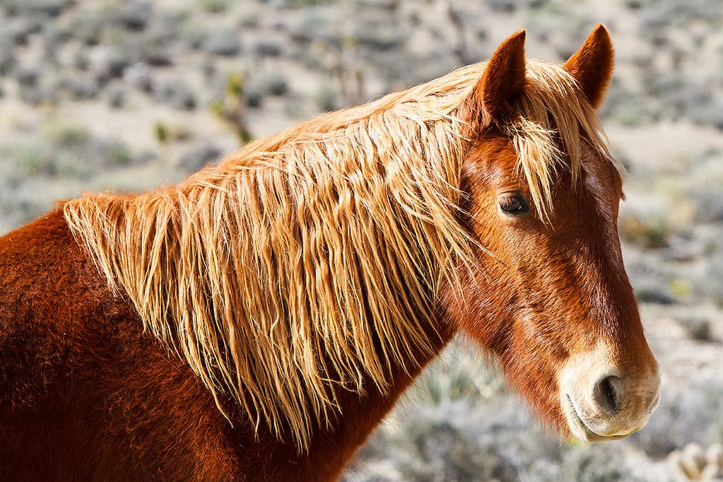 Gentle Soul.   Wild Horses. Cold Creek, Nevada (pinned by haw-creek.com)