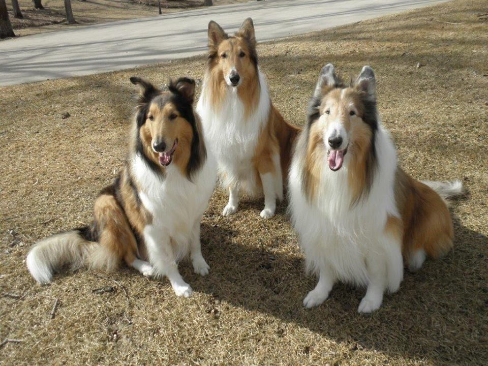 Mwcr Minnesota Wisconsin Collie Rescue These Are All Rescues
