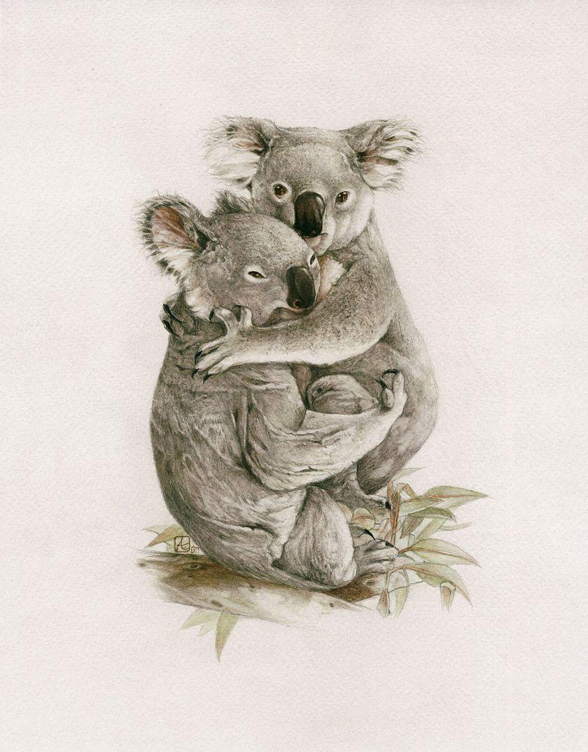 Koala Phascolarctos Cinereus Scientific Illustration