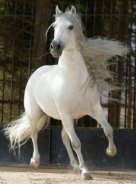 Фото из записи: | Белые лошади, Американская верховая и ...