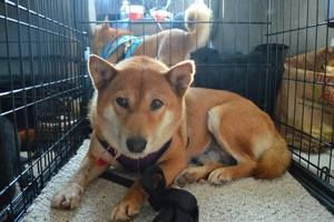 Misaki (Puppy Mill Survivor) is an adoptable Shiba Inu Dog in Manassas, VA. Misaki is so sweet and gentle! She is great with other dogs (and cats!) and is becoming more and more social and curious wit...