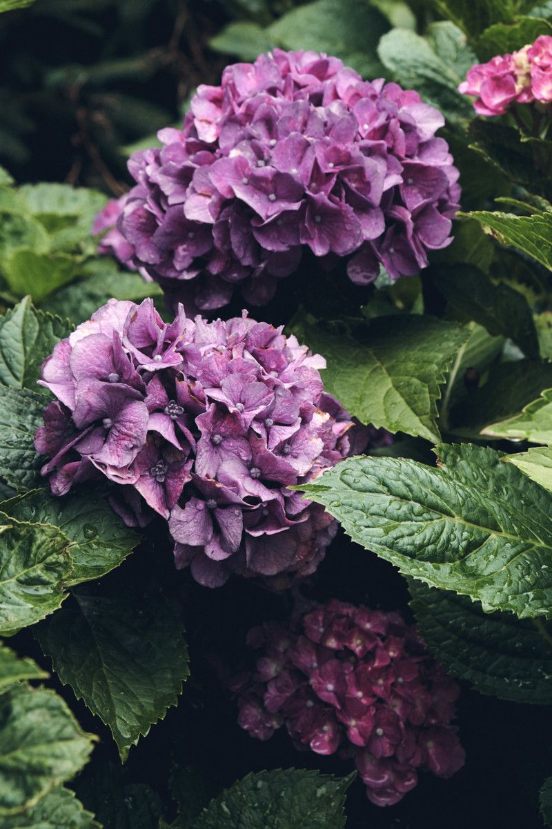 Thoughts For The Weekend And How I M Staying Sane The Rest Of The Summer Very Beautiful Flowers Hydrangea Flower Flowers