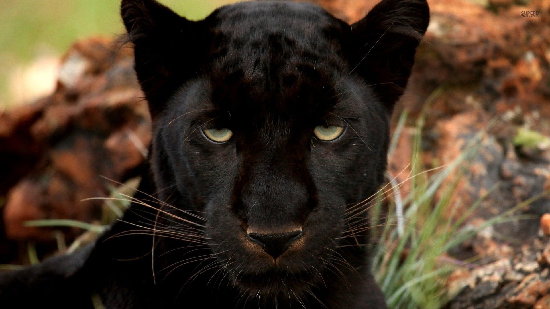black panther Big cats photography, Wild cats, Black panther