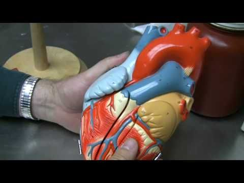 Part 1 Tour Thru The Heart Model This Video Focuses On Vessels Of