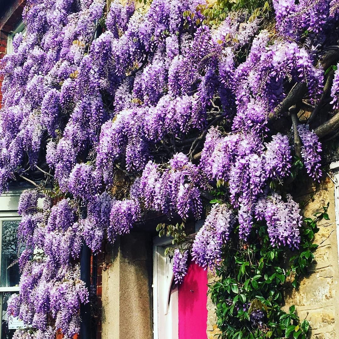 Wisteria Season Has Just Started Wisteria Wisteriahysteria Spring April Plants England Bloom Wisteria Season Has Just Started Wisteria Plants Seasons