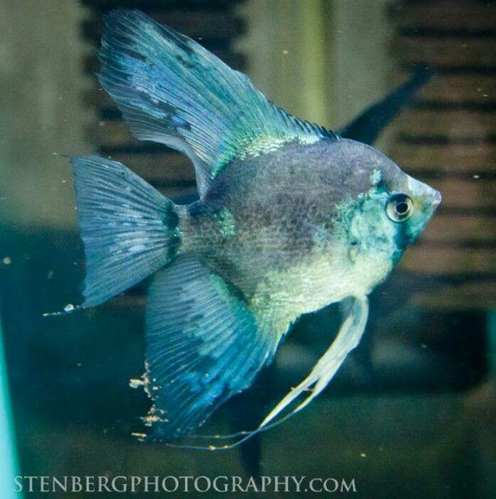 Philippine Blue Paraiba Angelfish Angel Fish Aquarium Fish Tropical Fish Tanks