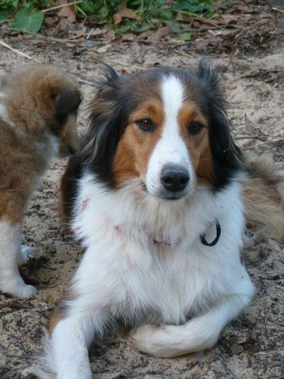 Picture Of English Shepherd Rough Collie Cross Working Farm