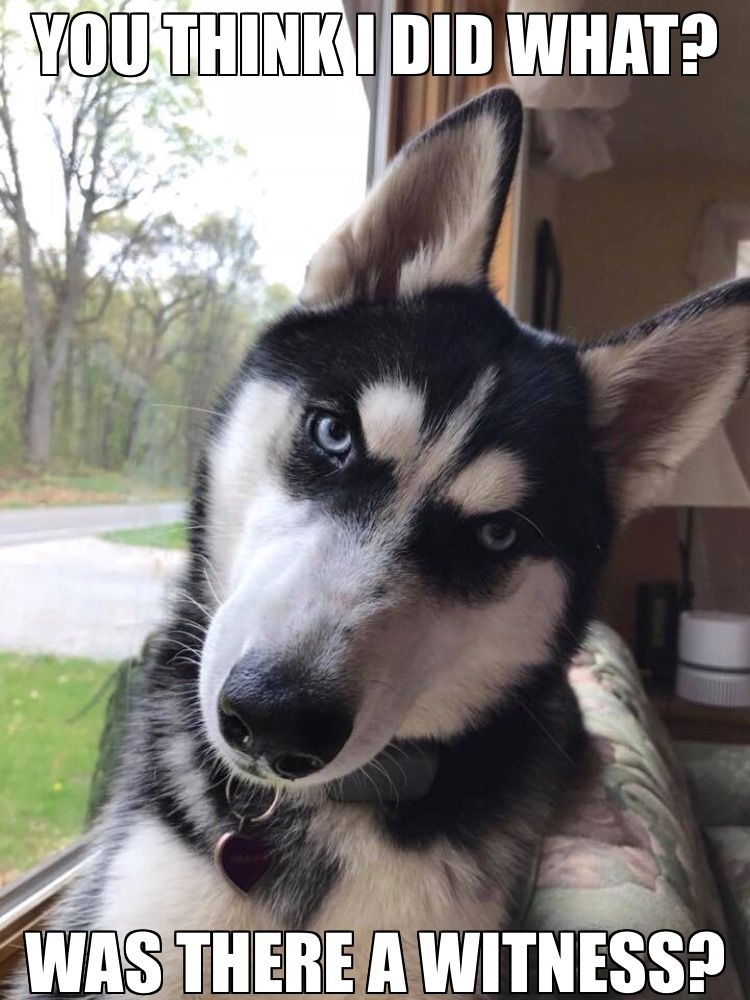 An Unsupervised Husky Can Cause A Lot Of Damage Dogspring