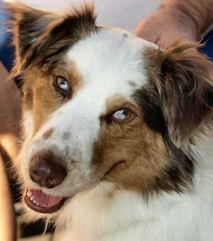 Australian Shepherd With Geometrically Split Eye Colors Australian Shepherd Dog Breed Info Snoop Doggy Dogg