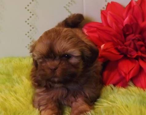 Liver Brindle Shih Tzu Shih Tzu Dog Best Friend Shih Tzu Puppy
