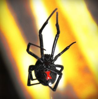Black Widow my husband caught in the garage. Scary but cool.