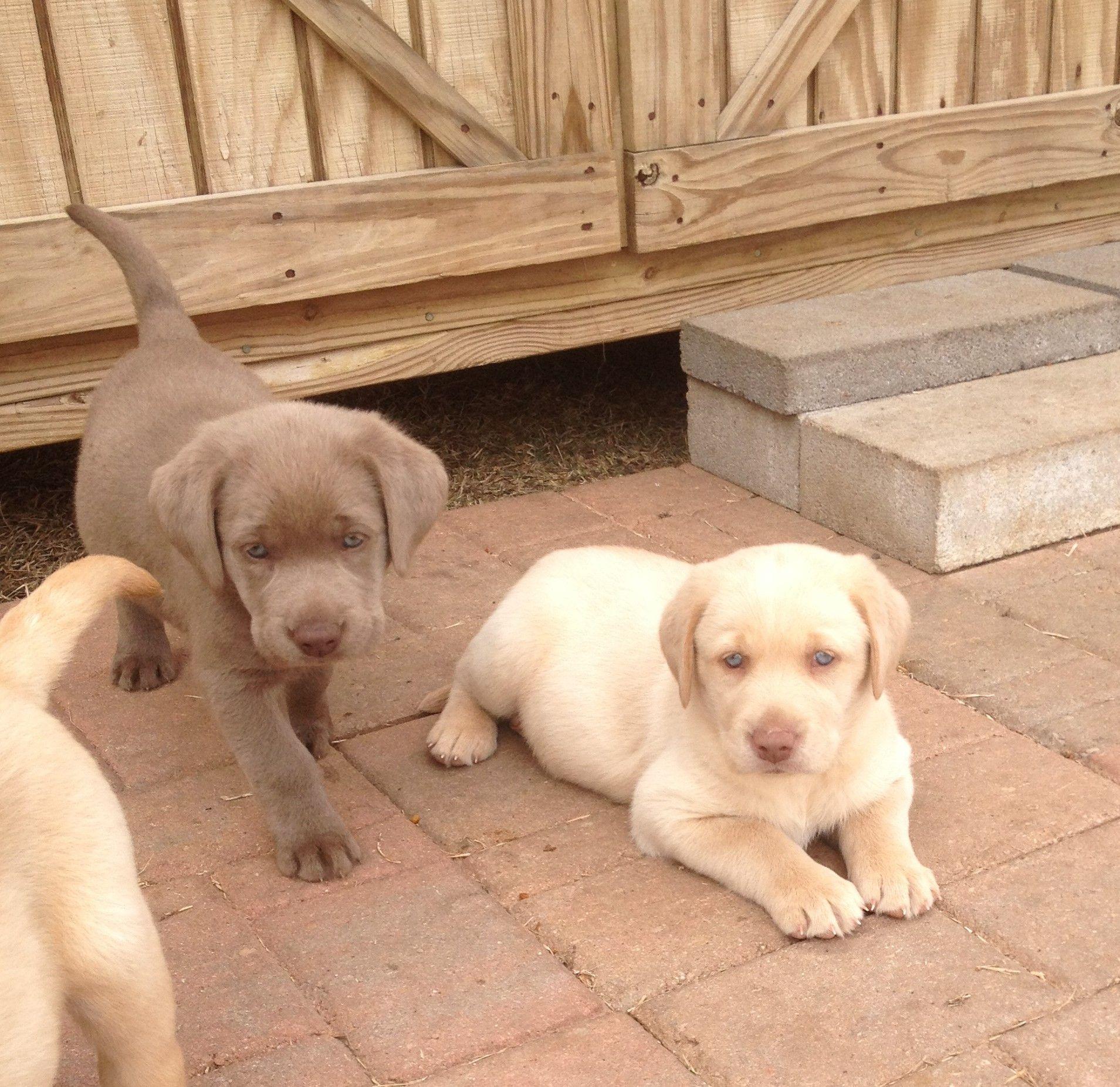 Labrador Retriever Intelligent And Fun Loving Labrador Retriever Golden Labrador Puppies Labrador