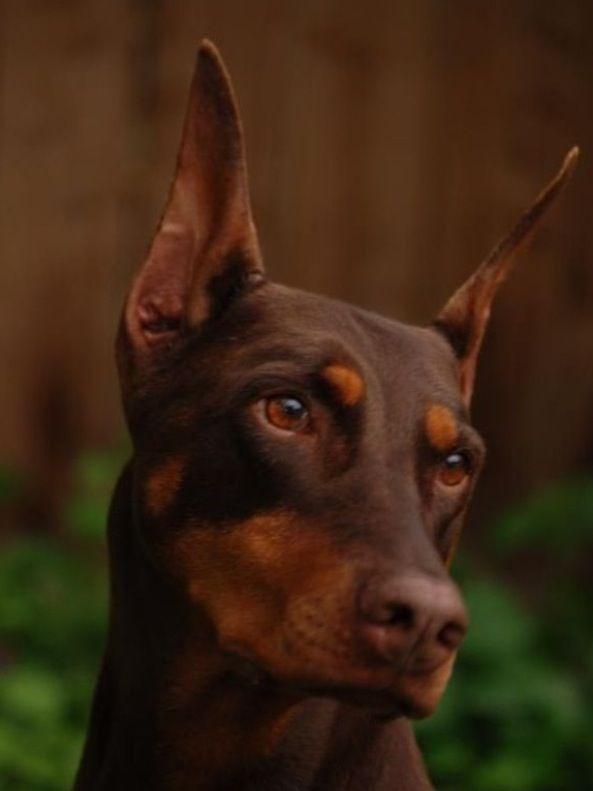 Doberman Pinscher Dogs Puppy Doberman Pinscher