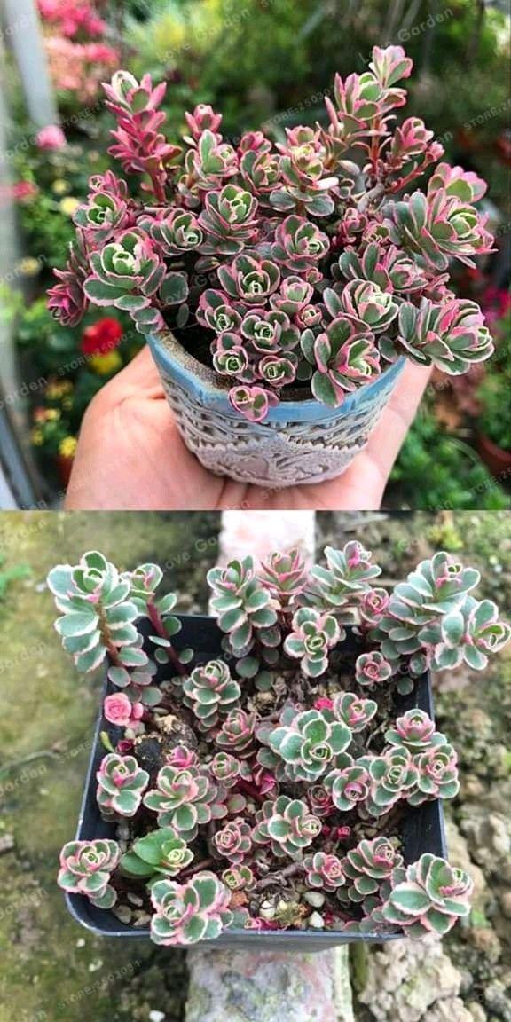 Green Ruby Succulents 100 Seeds Avec Images Plante