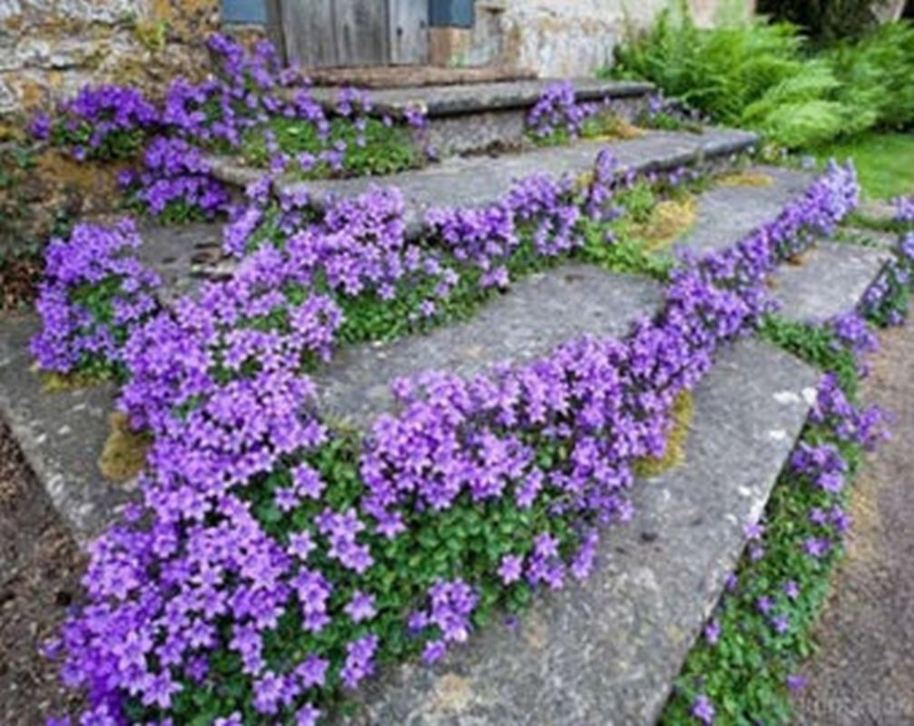 Campanula Carpatica Tussock Bellflower Makes A Good Container Plant Sweet Outdoor Plants Ground Cover Plants Plants