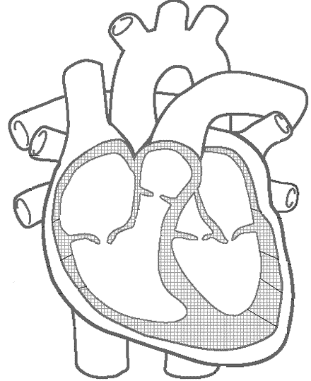 blank-heart-anatomy-diagram 440×539 pixels | eveil | pinterest, Muscles