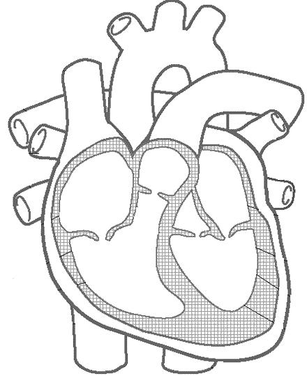 blank diagram of human heart