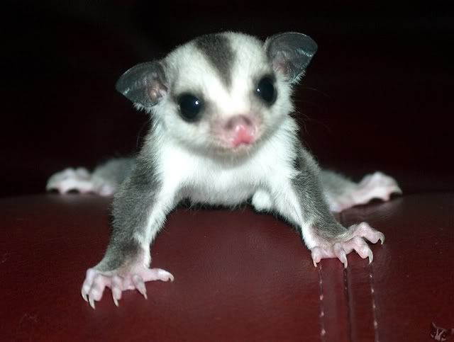 Are Sugar Gliders Good Pets Yes However They Are Not As Low Maintenance As Hamsters Or Gerbils Sugar Glider Cage Sugar Glider Baby Sugar Glider