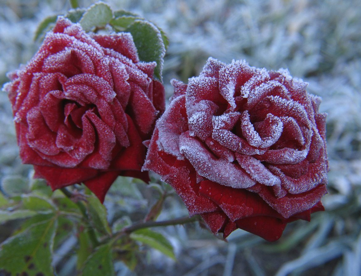 That Said With Adequate Protection And Proper Selection It Is Totally Possible To Have Beautiful Rosebushes In Zone 4