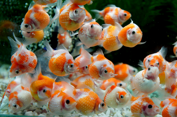 The pearlscale or chinshurin goldfish koi pinterest for Pond fish species